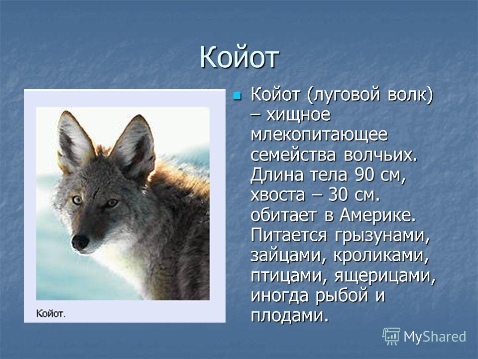 Койот Койот (луговой волк) – хищное млекопитающее семейства волчьих. Длина тела 90 см, хвоста – 30 см. обитает в Америке. Питается грызунами, зайцами, кроликами, птицами, ящерицами, иногда рыбой и плодами. Койот (луговой волк) – хищное млекопитающее