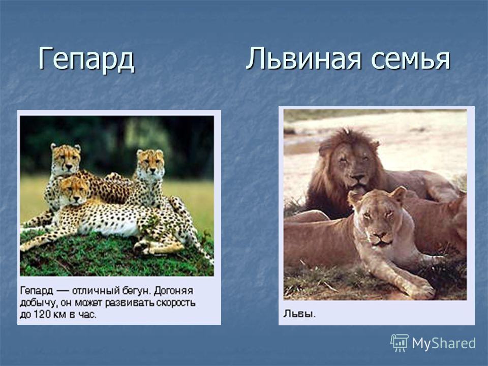Гепард Львиная семья