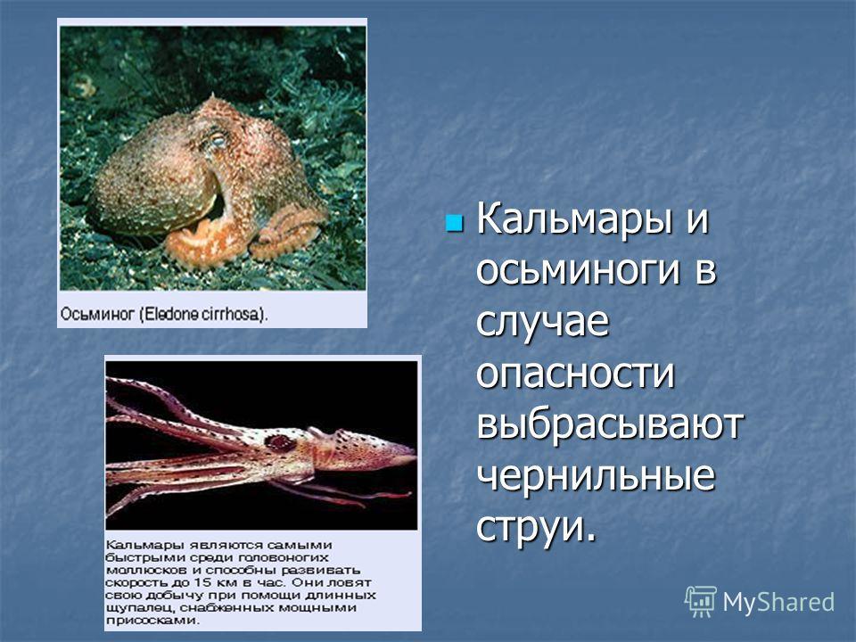 Кальмары и осьминоги в случае опасности выбрасывают чернильные струи. Кальмары и осьминоги в случае опасности выбрасывают чернильные струи.