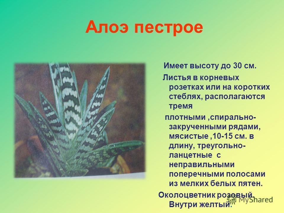 Алоэ пестрое Имеет высоту до 30 см. Листья в корневых розетках или на коротких стеблях, располагаются тремя плотными,спирально- закрученными рядами, мясистые,10-15 см. в длину, треугольно- ланцетные с неправильными поперечными полосами из мелких белы
