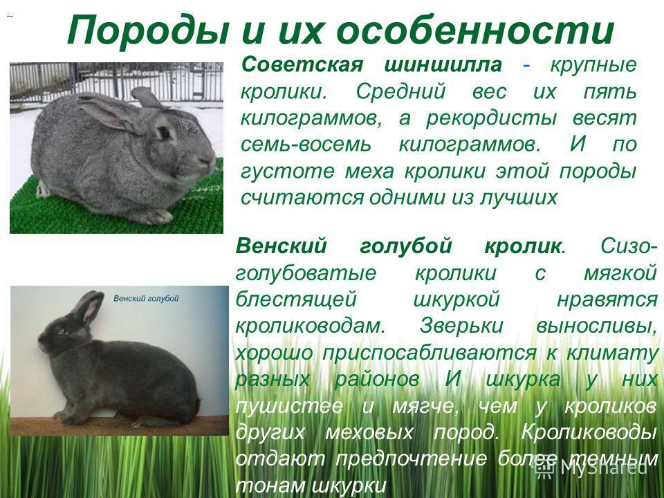 Породы и их особенности. Советская шиншилла - крупные кролики. Средний вес их пять килограммов, а рекордисты весят семь-восемь килограммов. И по густоте меха кролики этой породы считаются одними из лучших Венский голубой кролик. Сизо- голубоватые кро