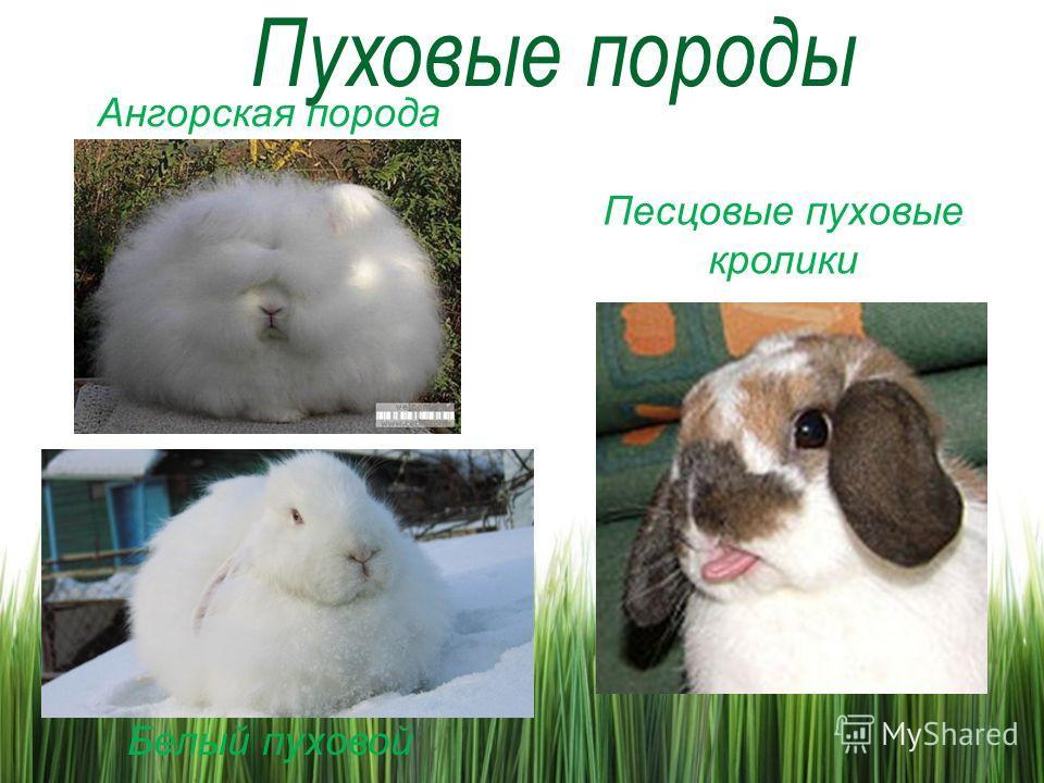 Ангорская порода Белый пуховой Песцовые пуховые кролики
