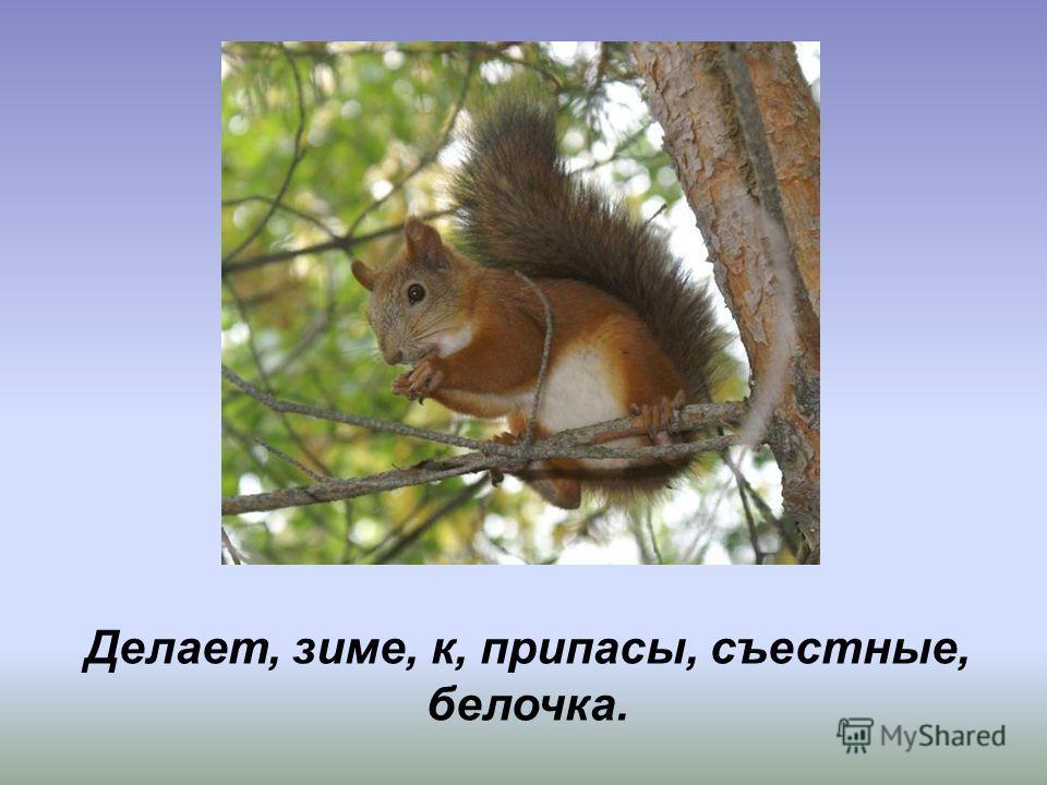 Без крыльев, а быстрее птицы с дерева на дерево перелетает. Делает, зиме, к, припасы, съестные, белочка.