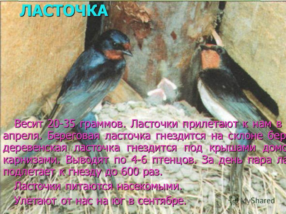 ЛАСТОЧКА Весит 20-35 граммов. Ласточки прилетают к нам в начале апреля. Береговая ласточка гнездится на склоне берегов, а деревенская ласточка гнездится под крышами домов, под карнизами. Выводят по 4-6 птенцов. За день пара ласточек подлетает к гнезд