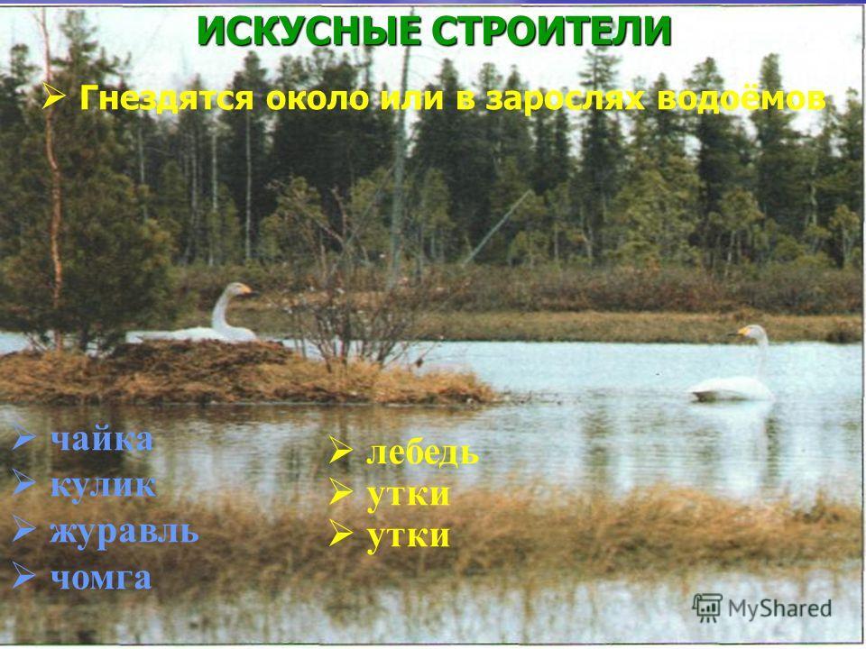 ИСКУСНЫЕ СТРОИТЕЛИ Гнездятся около или в зарослях водоёмов чайка кулик журавль чомга лебедь утки