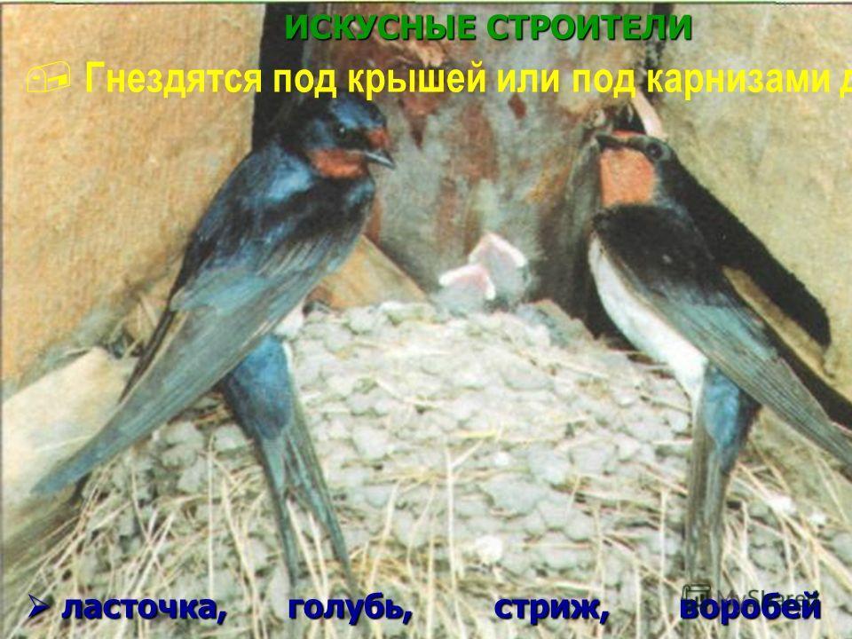 ИСКУСНЫЕ СТРОИТЕЛИ Гнездятся под крышей или под карнизами домов ласточка, голубь, стриж, воробей ласточка, голубь, стриж, воробей