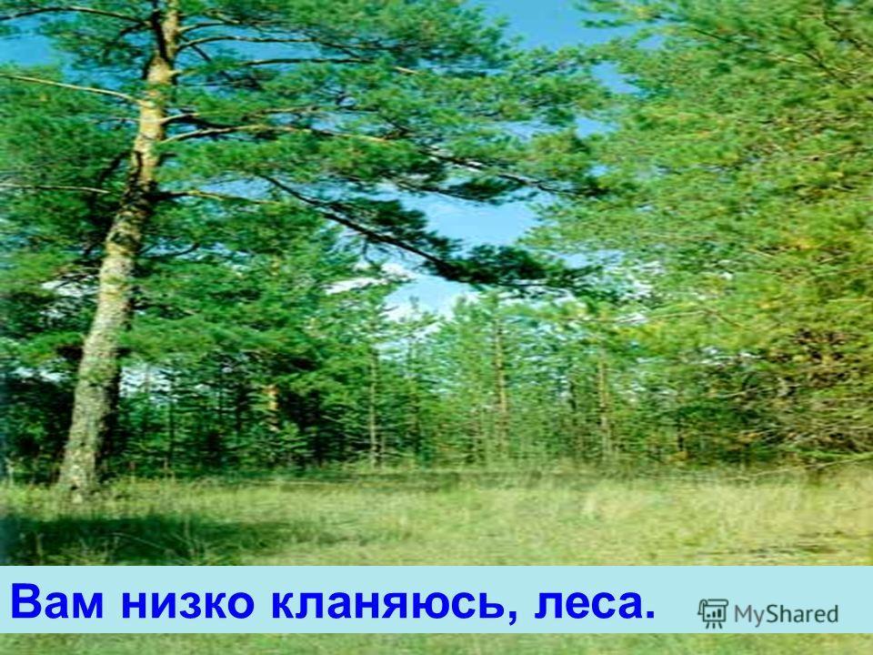 Вам низко кланяюсь, леса.