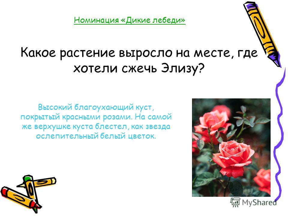 Номинация «Дикие лебеди» Какое растение выросло на месте, где хотели сжечь Элизу? Высокий благоухающий куст, покрытый красными розами. На самой же верхушке куста блестел, как звезда ослепительный белый цветок.
