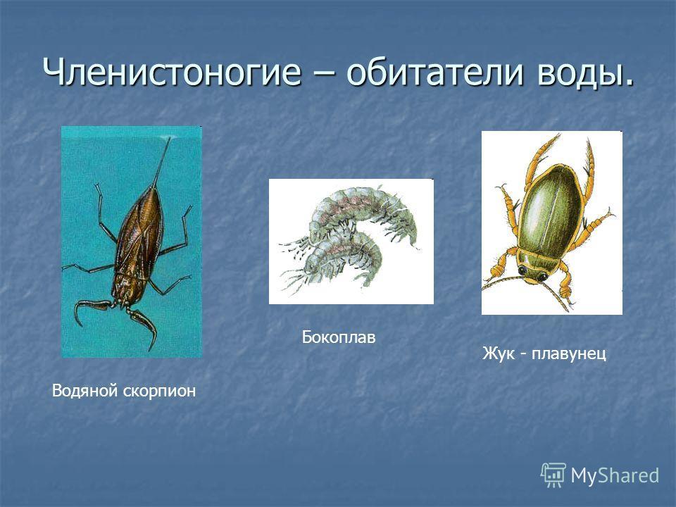 Членистоногие – обитатели воды. Водяной скорпион Жук - плавунец Бокоплав