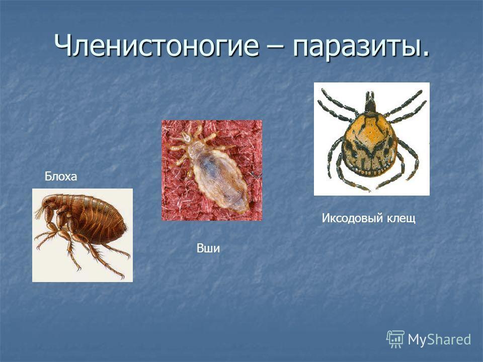 Членистоногие – паразиты. Иксодовый клещ Блоха Вши
