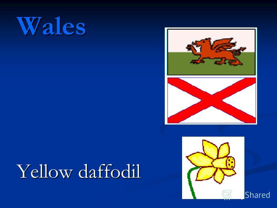 Wales Yellow daffodil