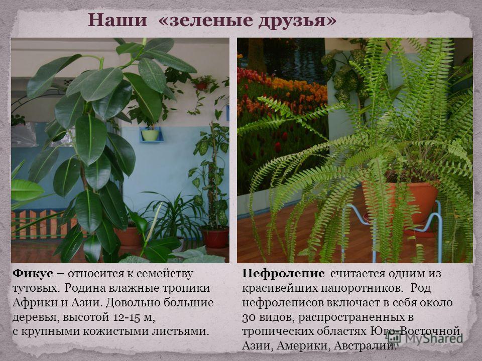 Наши «зеленые друзья» Фикус – относится к семейству тутовых. Родина влажные тропики Африки и Азии. Довольно большие деревья, высотой 12-15 м, с крупными кожистыми листьями. Нефролепис считается одним из красивейших папоротников. Род нефролеписов вклю