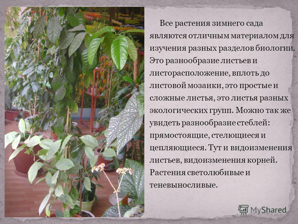 Все растения зимнего сада являются отличным материалом для изучения разных разделов биологии. Это разнообразие листьев и листорасположение, вплоть до листовой мозаики, это простые и сложные листья, это листья разных экологических групп. Можно так же