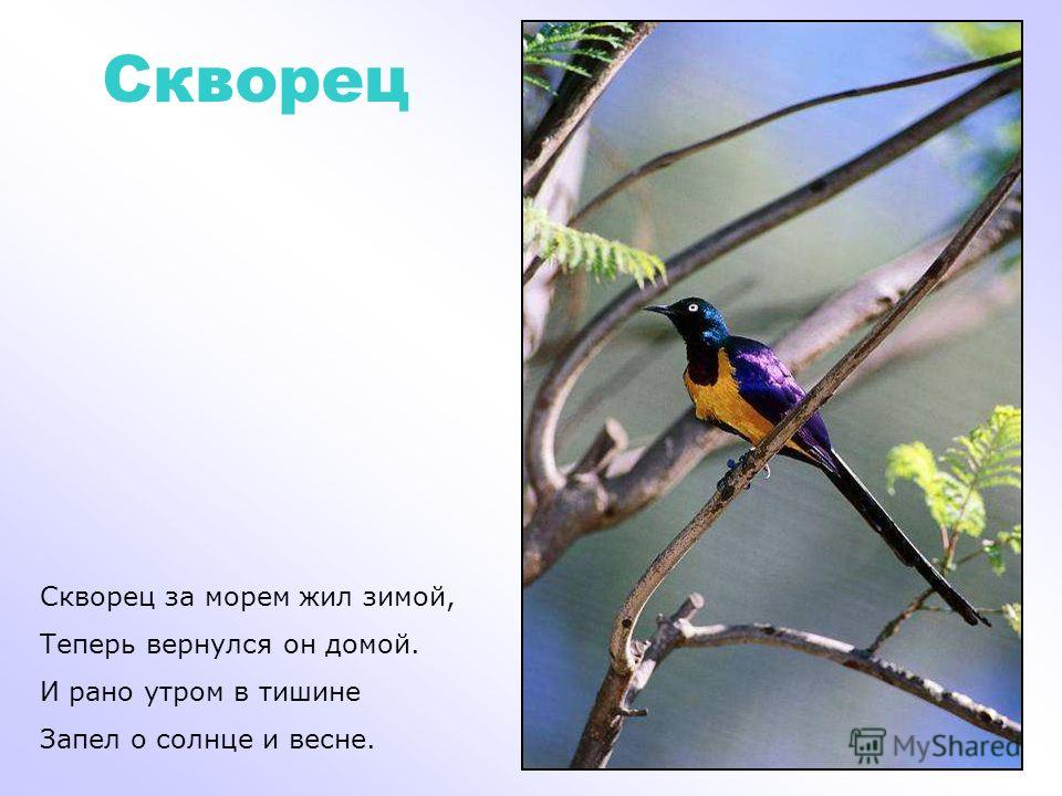Пеликан У реки, в тени лиан, Поселился пеликан. Пеликан не ловит мошек, Ловит он в реке рыбешек.