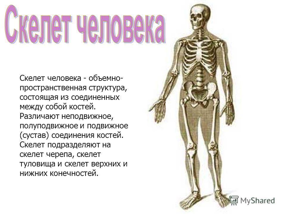 Скелет человека - объемно- пространственная структура, состоящая из соединенных между собой костей. Различают неподвижное, полуподвижное и подвижное (сустав) соединения костей. Скелет подразделяют на скелет черепа, скелет туловища и скелет верхних и