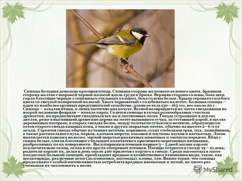 Синица большая довольно красивая птица. Спинная сторона желтовато-зеленого цвета, брюшная сторона желтая с широкой черной полосой вдоль груди и брюха. Верхняя сторона головы, бока шеи, горло блестяще-черные с синеватым стальным отливом, бока головы б