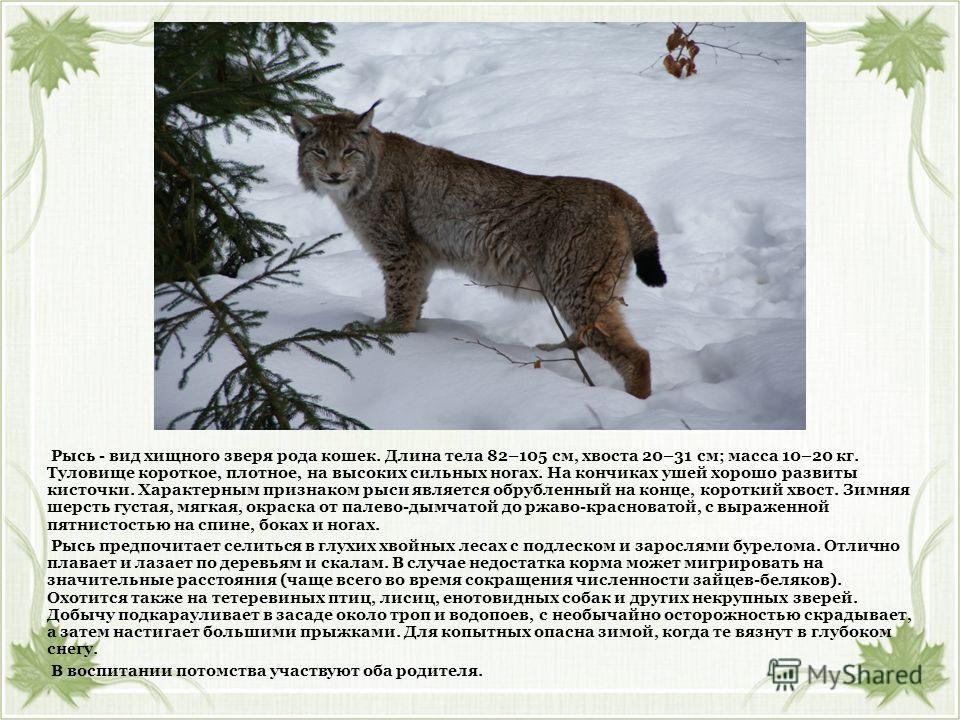 Рысь - вид хищного зверя рода кошек. Длина тела 82–105 см, хвоста 20–31 см; масса 10–20 кг. Туловище короткое, плотное, на высоких сильных ногах. На кончиках ушей хорошо развиты кисточки. Характерным признаком рыси является обрубленный на конце, коро
