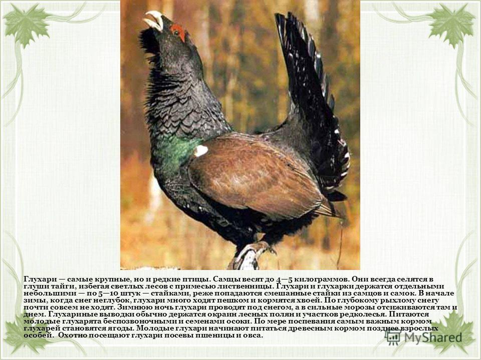 Глухари самые крупные, но и редкие птицы. Самцы весят до 45 килограммов. Они всегда селятся в глуши тайги, избегая светлых лесов с примесью лиственницы. Глухари и глухарки держатся отдельными небольшими по 510 штук стайками, реже попадаются смешанные