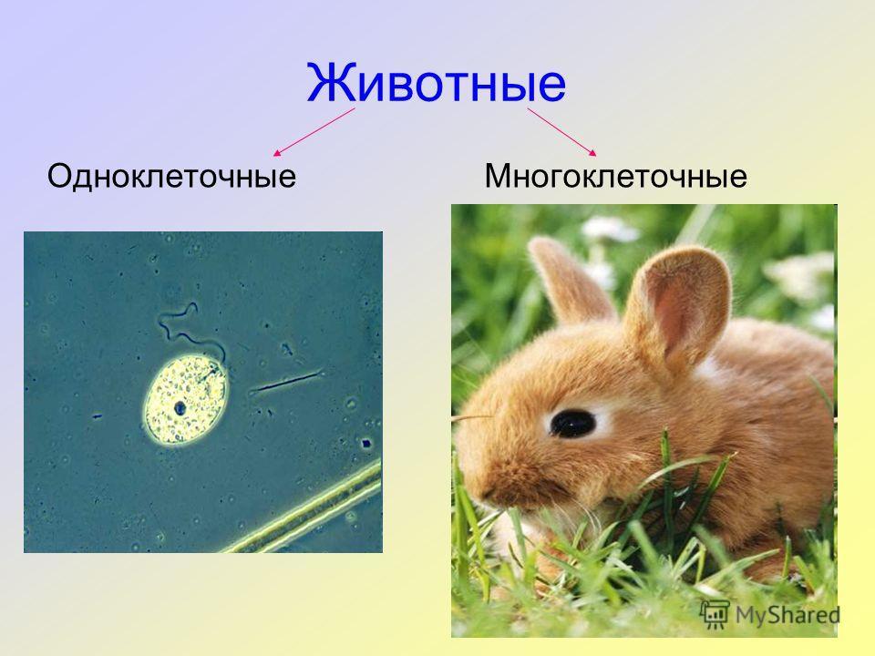 Животные ОдноклеточныеМногоклеточные