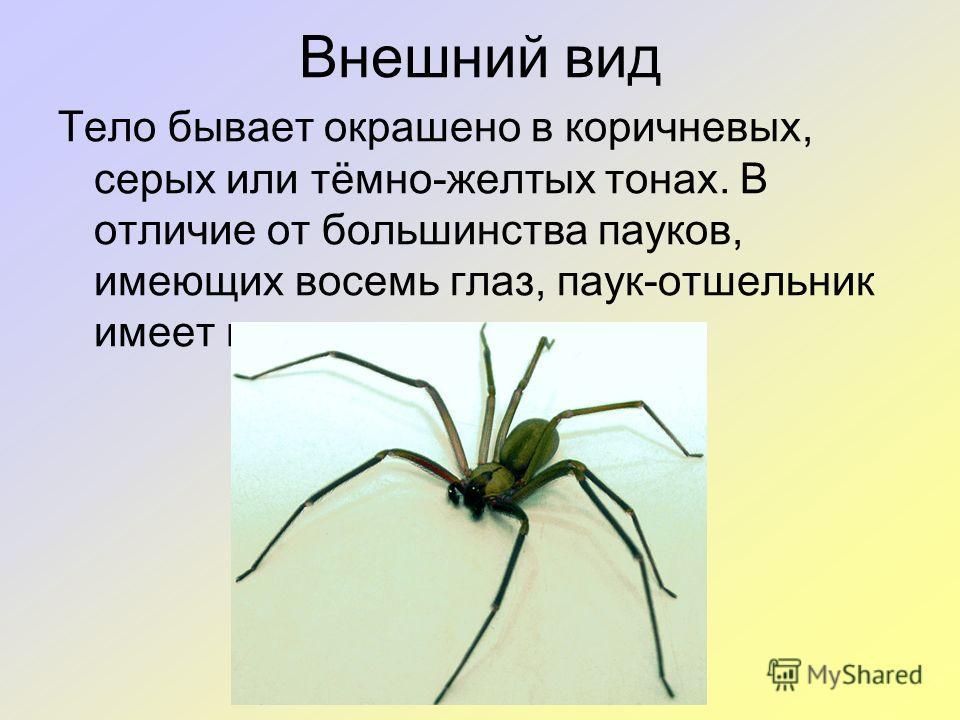 Внешний вид Тело бывает окрашено в коричневых, серых или тёмно-желтых тонах. В отличие от большинства пауков, имеющих восемь глаз, паук-отшельник имеет шесть.
