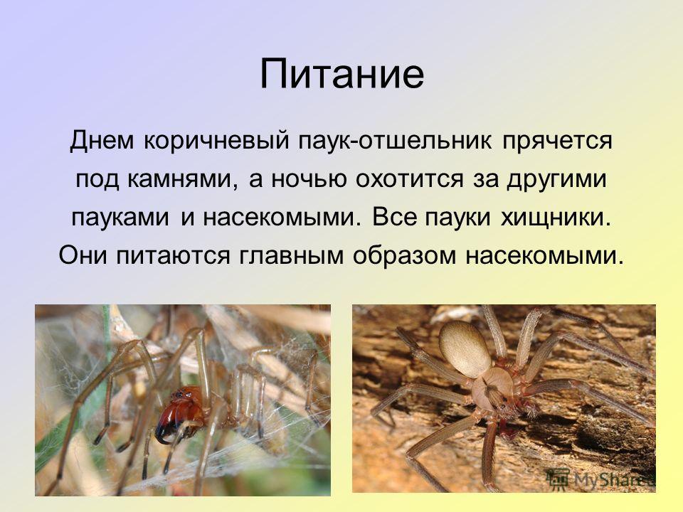 Питание Днем коричневый паук-отшельник прячется под камнями, а ночью охотится за другими пауками и насекомыми. Все пауки хищники. Они питаются главным образом насекомыми.