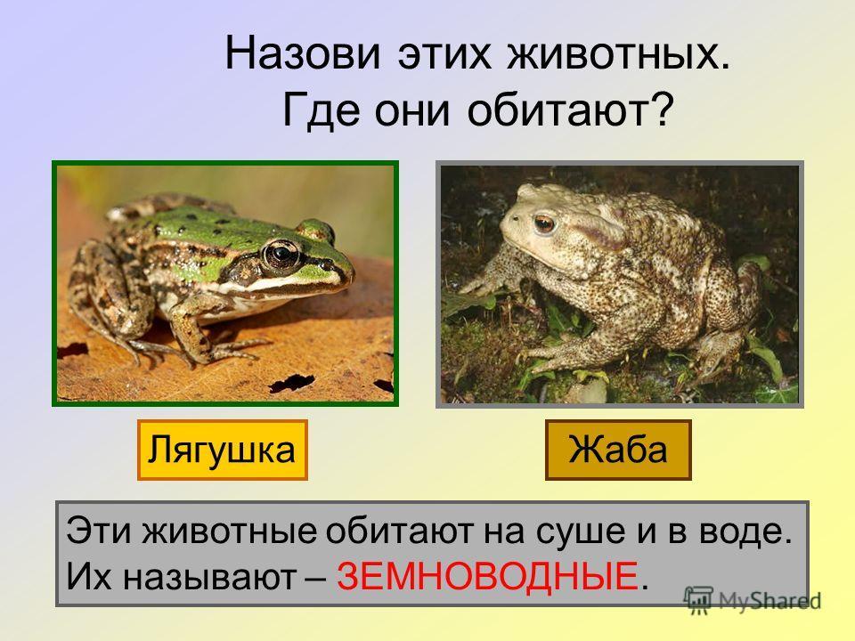 Назови этих животных. Где они обитают? ЛягушкаЖаба Эти животные обитают на суше и в воде. Их называют – ЗЕМНОВОДНЫЕ.