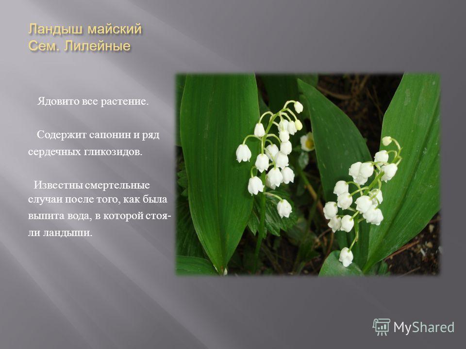 Ландыш майский Сем. Лилейные Ядовито все растение. Содержит сапонин и ряд сердечных гликозидов. Известны смертельные случаи после того, как была выпита вода, в которой стоя - ли ландыши.