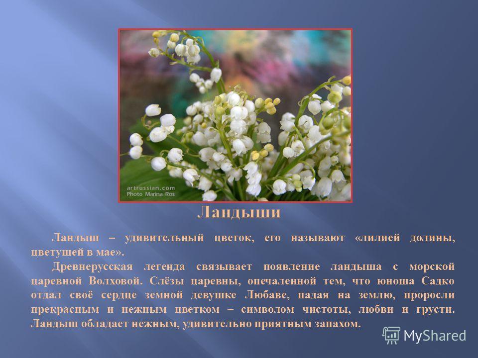 Ландыш – удивительный цветок, его называют « лилией долины, цветущей в мае ». Древнерусская легенда связывает появление ландыша с морской царевной Волховой. Слёзы царевны, опечаленной тем, что юноша Садко отдал своё сердце земной девушке Любаве, пада