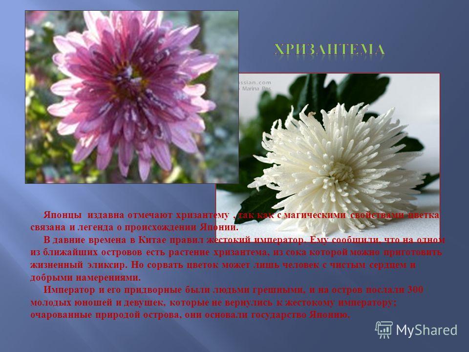 Японцы издавна отмечают хризантему, так как с магическими свойствами цветка связана и легенда о происхождении Японии. В давние времена в Китае правил жестокий император. Ему сообщили, что на одном из ближайших островов есть растение хризантема, из со