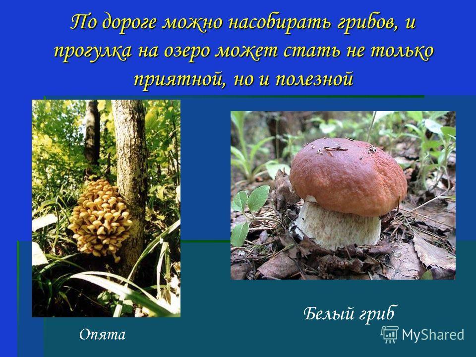 По дороге можно насобирать грибов, и прогулка на озеро может стать не только приятной, но и полезной Белый гриб Опята