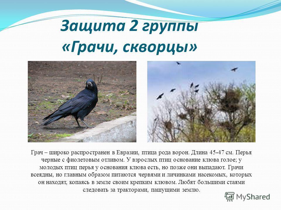 Защита 2 группы «Грачи, скворцы» Грач – широко распространен в Евразии, птица рода ворон. Длина 45-47 см. Перья черные с фиолетовым отливом. У взрослых птиц основание клюва голое; у молодых птиц перья у основания клюва есть, но позже они выпадают. Гр