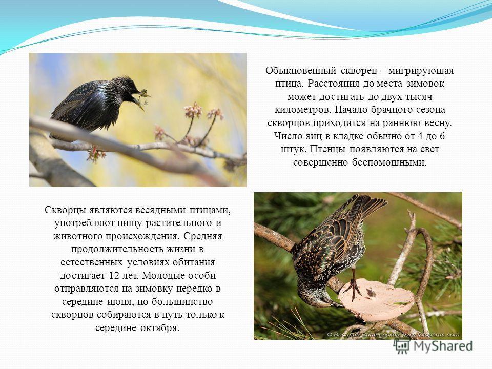 Обыкновенный скворец – мигрирующая птица. Расстояния до места зимовок может достигать до двух тысяч километров. Начало брачного сезона скворцов приходится на раннюю весну. Число яиц в кладке обычно от 4 до 6 штук. Птенцы появляются на свет совершенно