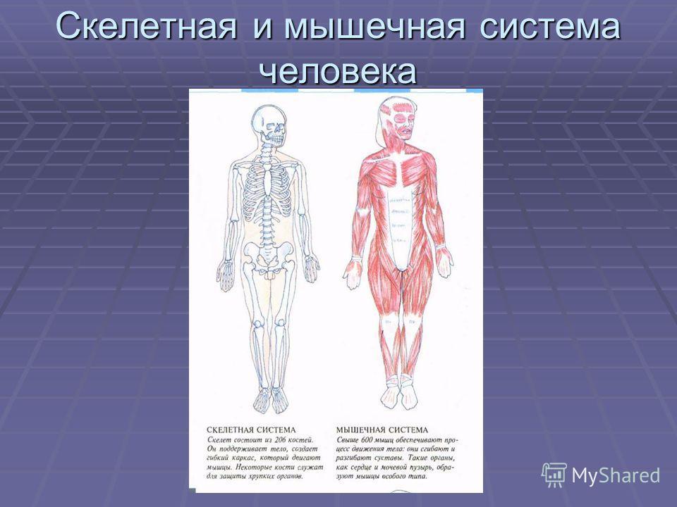 Скелетная и мышечная система человека