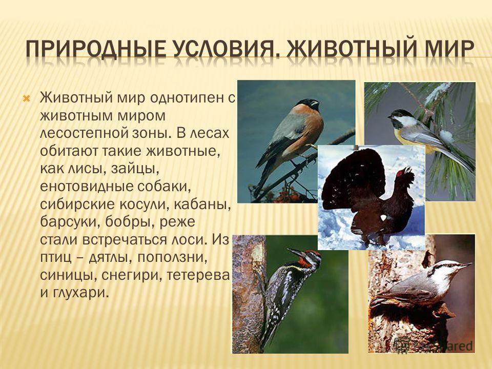 Животный мир однотипен с животным миром лесостепной зоны. В лесах обитают такие животные, как лисы, зайцы, енотовидные собаки, сибирские косули, кабаны, барсуки, бобры, реже стали встречаться лоси. Из птиц – дятлы, поползни, синицы, снегири, тетерева