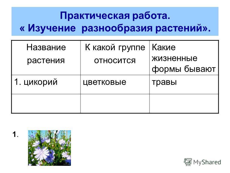 Практическая работа. « Изучение разнообразия растений». Название растения К какой группе относится Какие жизненные формы бывают 1. цикорийцветковыетравы 1.1.