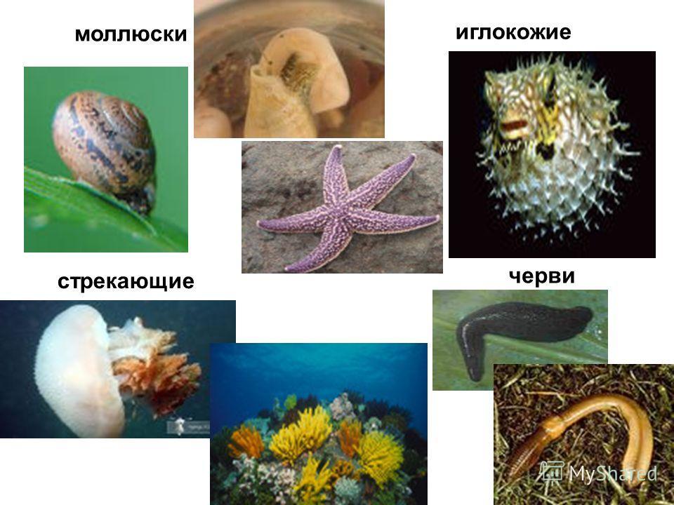 черви стрекающие моллюски иглокожие