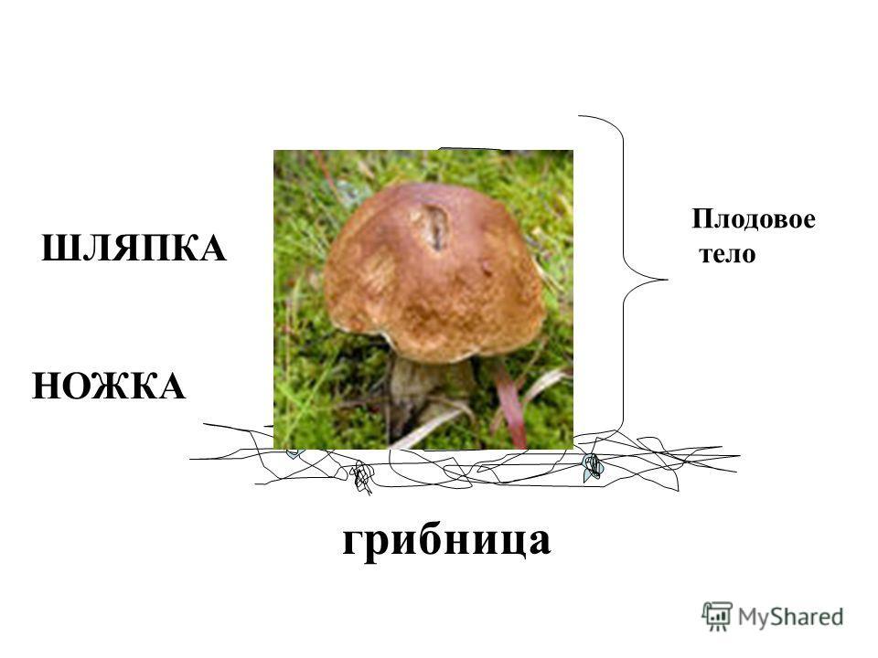 Плодовое тело ШЛЯПКА НОЖКА грибница