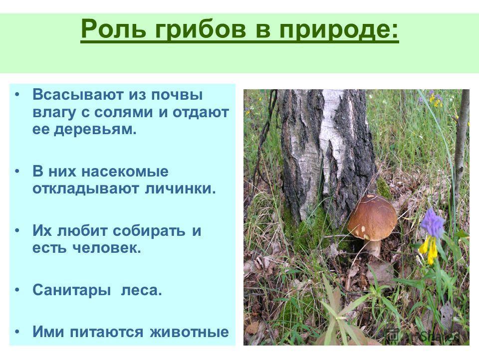 Роль грибов в природе: Всасывают из почвы влагу с солями и отдают ее деревьям. В них насекомые откладывают личинки. Их любит собирать и есть человек. Санитары леса. Ими питаются животные