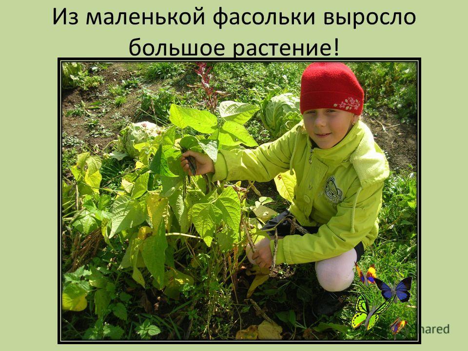 Из маленькой фасольки выросло большое растение!