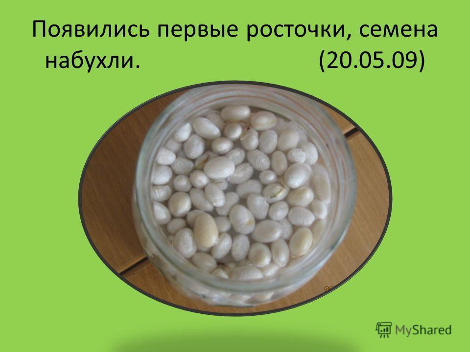 Появились первые росточки, семена набухли. (20.05.09)
