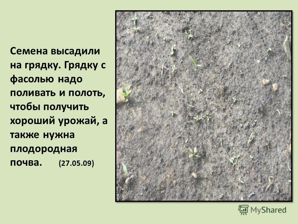 Семена высадили на грядку. Грядку с фасолью надо поливать и полоть, чтобы получить хороший урожай, а также нужна плодородная почва. (27.05.09)