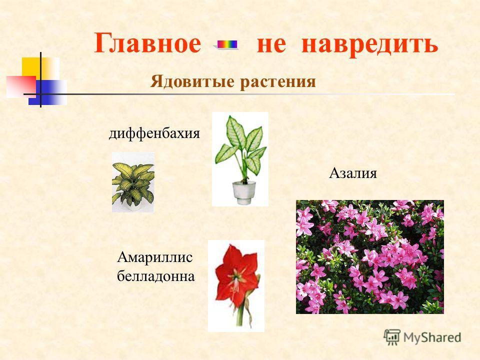 Главноене навредить Ядовитые растения Амариллис белладонна Азалия диффенбахия