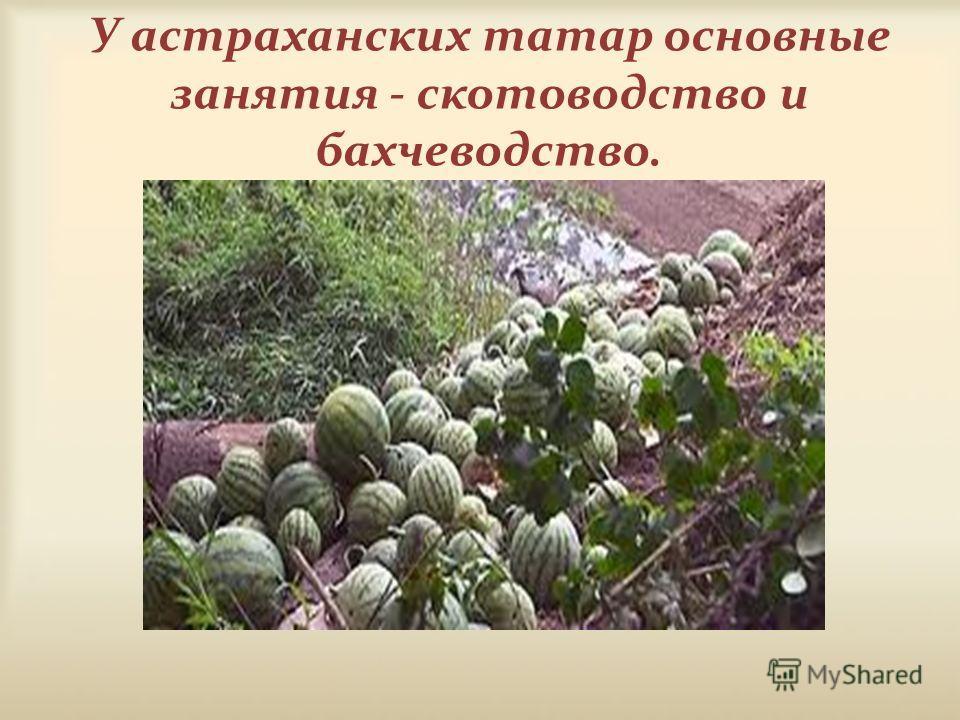 У астраханских татар основные занятия - скотоводство и бахчеводство.