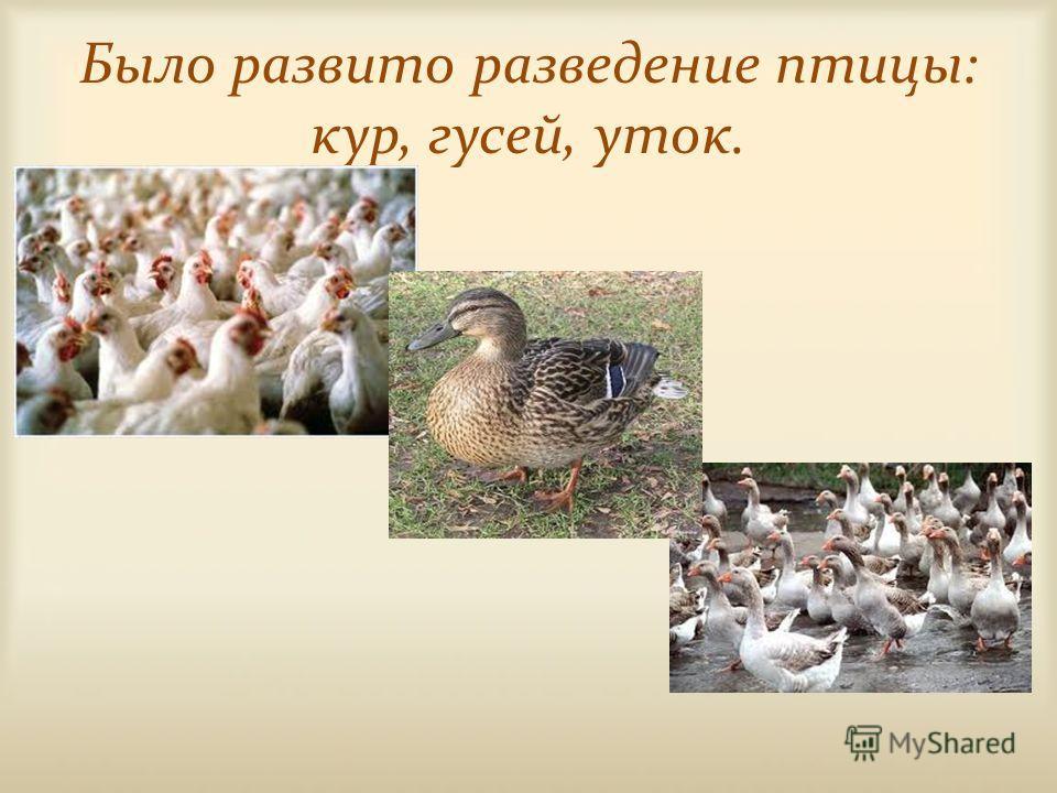Было развито разведение птицы: кур, гусей, уток.