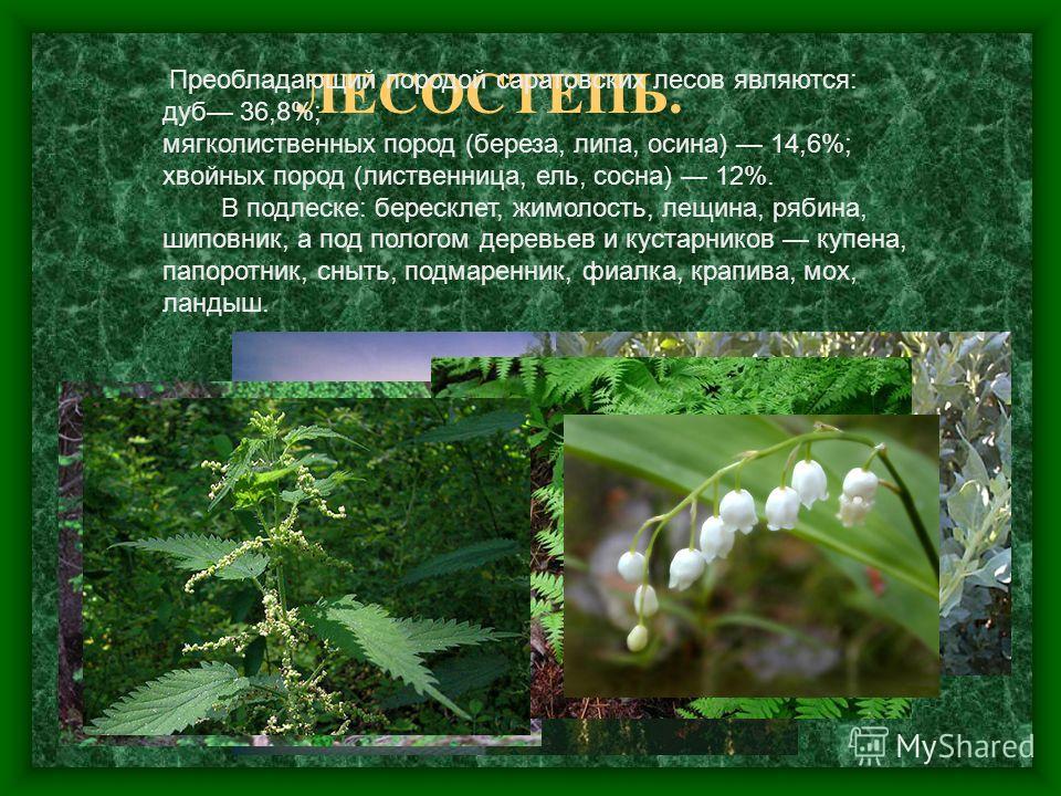 ЛЕСОСТЕПЬ. Преобладающий породой саратовских лесов являются: дуб 36,8%; мягколиственных пород (береза, липа, осина) 14,6%; хвойных пород (лиственница, ель, сосна) 12%. В подлеске: бересклет, жимолость, лещина, рябина, шиповник, а под пологом деревьев