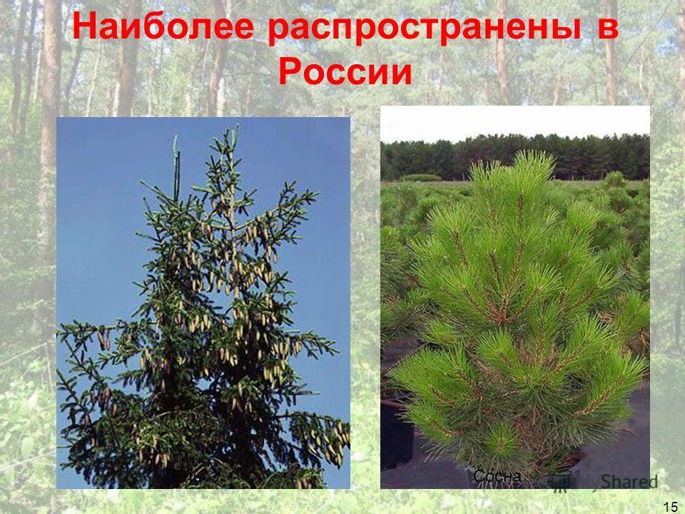 Наиболее распространены в России 15 ЕльСосна