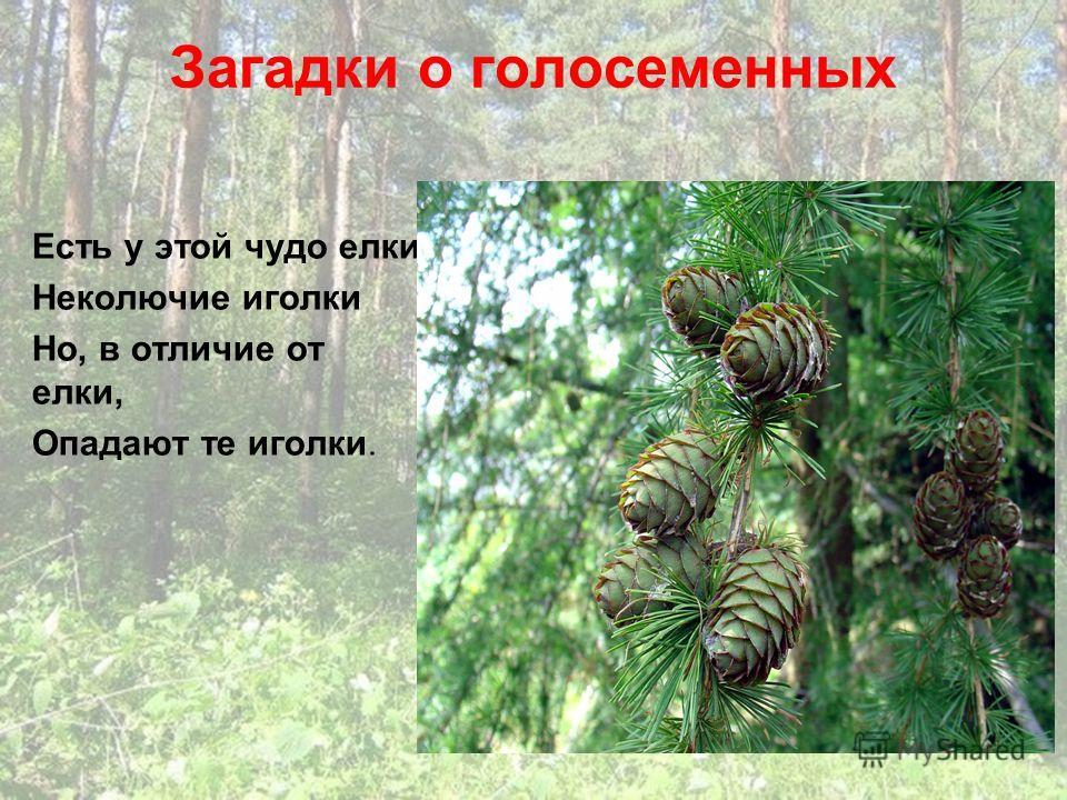 Загадки о голосеменных Есть у этой чудо елки Неколючие иголки Но, в отличие от елки, Опадают те иголки.