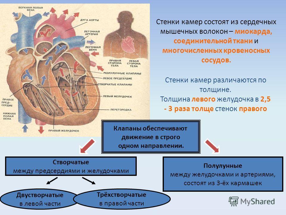 Стенки камер состоят из сердечных мышечных волокон – миокарда, соединительной ткани и многочисленных кровеносных сосудов. Стенки камер различаются по толщине. Толщина левого желудочка в 2,5 - 3 раза толще стенок правого Клапаны обеспечивают движение
