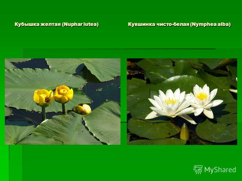 Кубышка желтая (Nuphar lutea) Кувшинка чисто-белая (Nymphea alba)