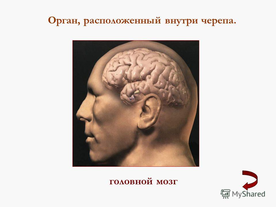 Орган, расположенный внутри черепа. головной мозг